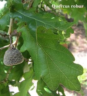 feuilles Quercus robur