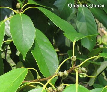 feuilles Quercus-glauca