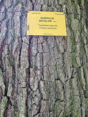 écorce Quercus bicolor