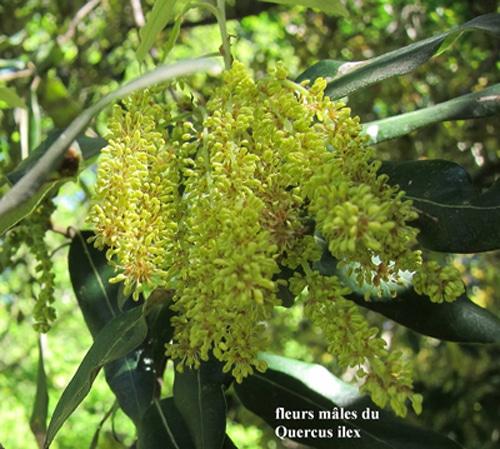 inflorescence mâle chêne - Quercus