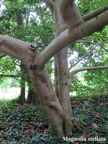 écorce Magnolia stellata
