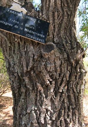 écorce Fraxinus ornus