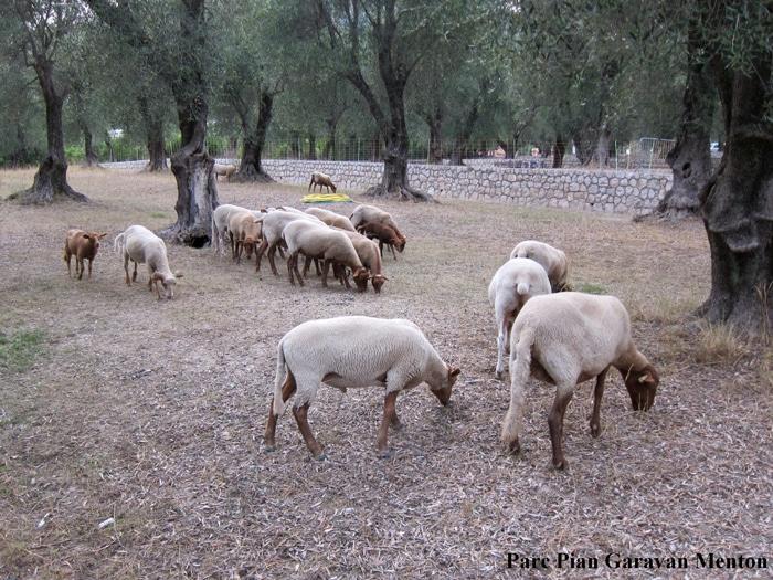 moutons Parc Pian Menton