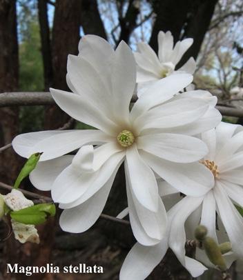 fleurs Magnolia stellata