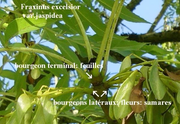 bourgeon terminal, bourgeons axillaires du frêne