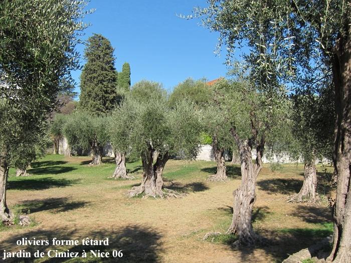 oliviers à Cimiez Nice