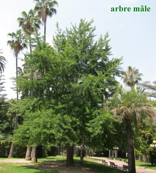 ginkgo arbre mâle