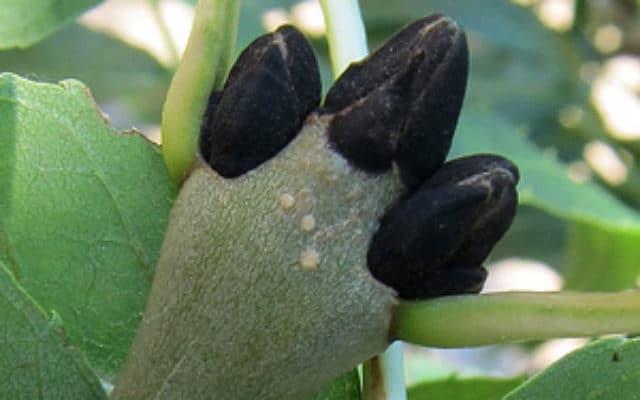 bourgeons du frêne