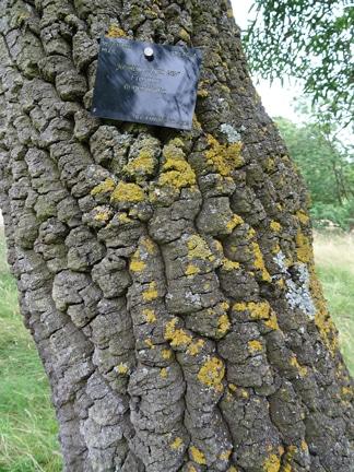 écorce Fraxinus angustifolia