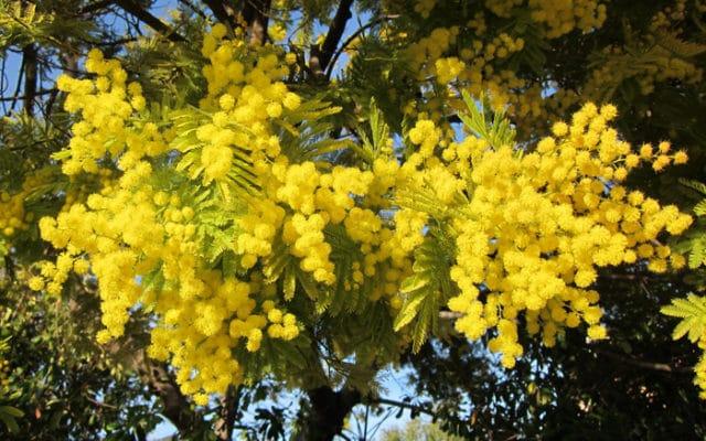 Acacia - Mimosa