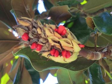 graines rouges de magnolia