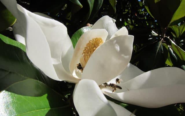 fleur et insectes Magnolia grandiflora