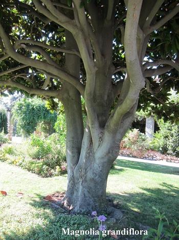 écorce Magnolia grandiflora