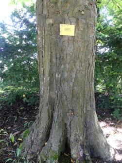 écorce Aesculus x carnea 'Marginata'