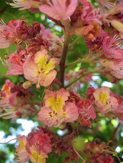 Aesculus-carnea-fleurs