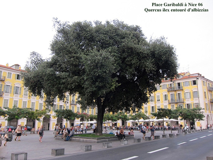 chêne-vert-place-Garibaldi-Nice-06
