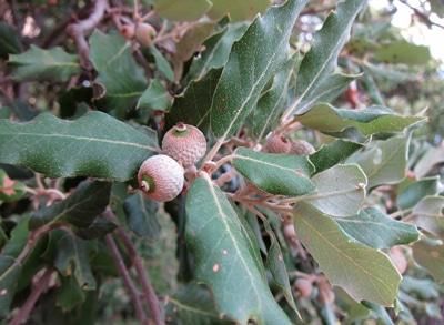 feuilles Quercus ilex - chêne vert