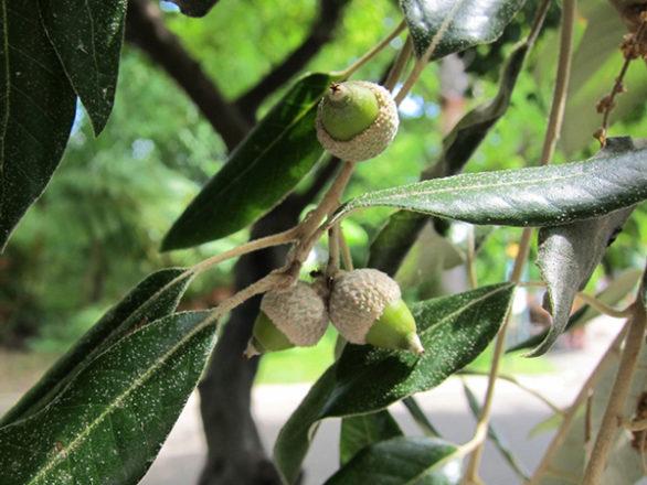 feuilles-et-glands-en-formation-Quercus-ilex