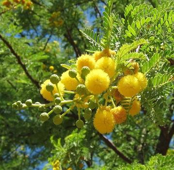 glomérules Acacia