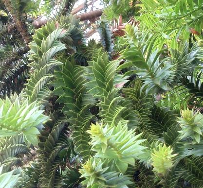 Araucaria bidwillii feuillage adulte en écailles