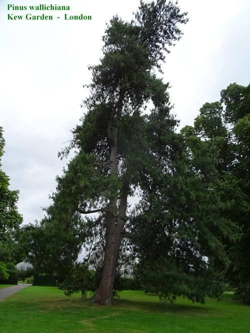 Pinus wallichiana Kew Garden