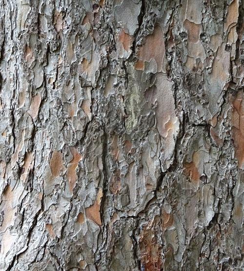 écorce Pinus wallichiana