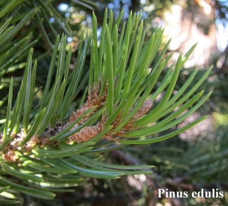 feuilles Pinus edulis