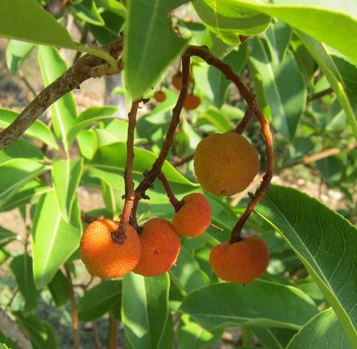 fruits Arbutus x thuretiana