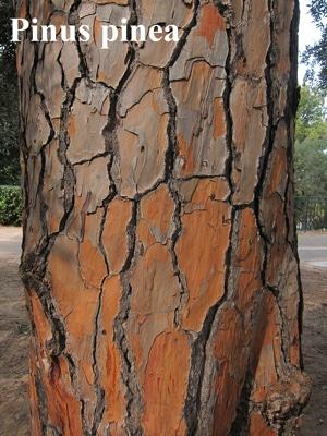 écorce Pinus pinea