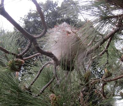 nid de chenilles processionnaires