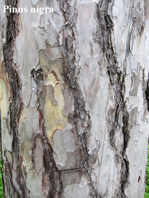 écorce Pinus nigra