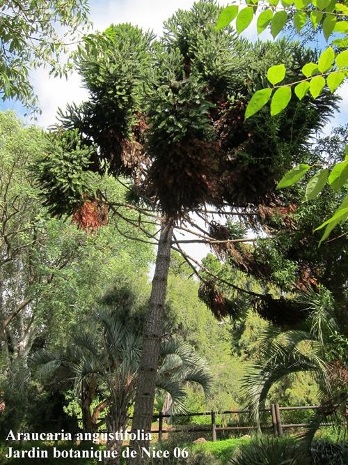 pin de Parana jardin botanique de Nice