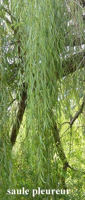 feuilles de saule pleureur