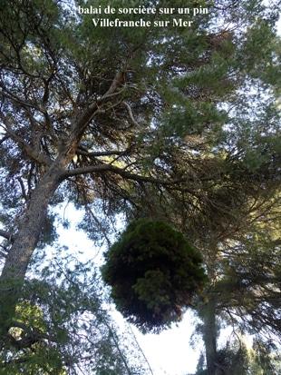 balai de sorcière sur un pin