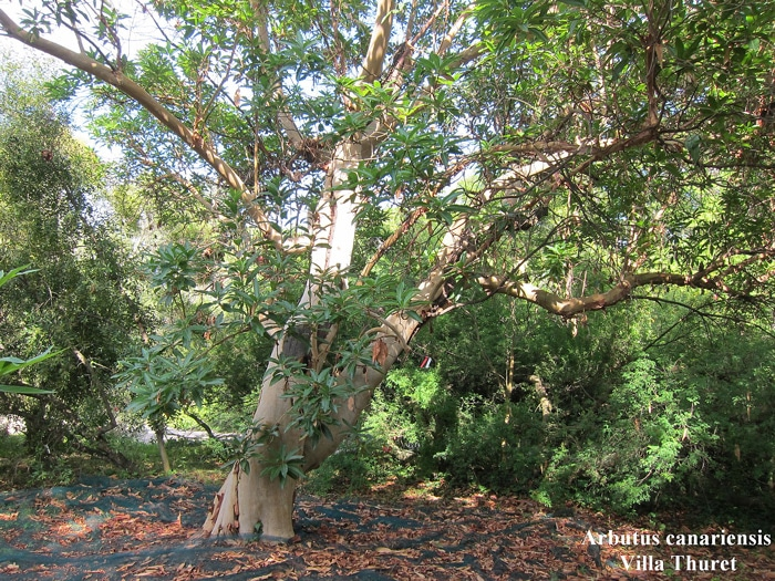 Arbutus-canariensis Villa Thuret