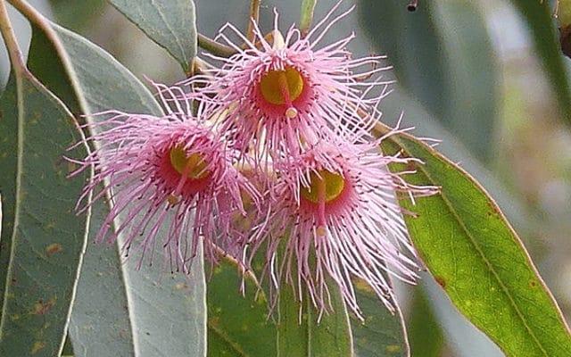 fleurs Eucalyptus leucoxylon