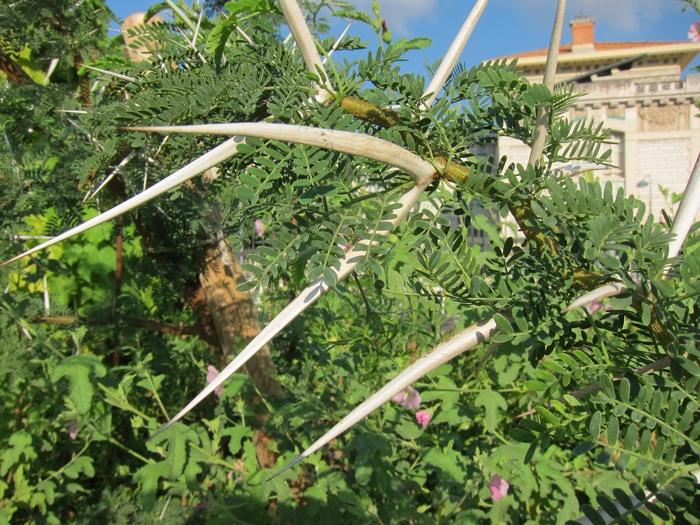 longues épines du Vachellia karroo