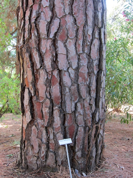 écorce Pinus canariensis