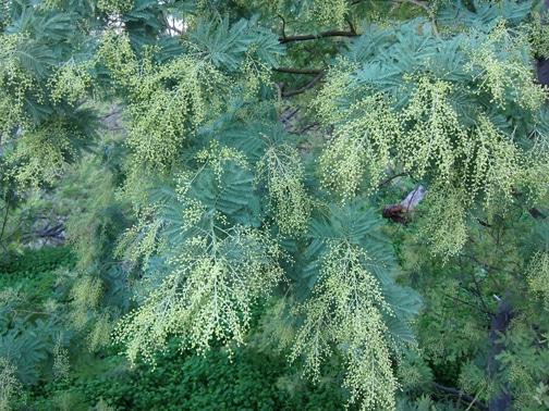 inflorescences en formation Acacia dealbata