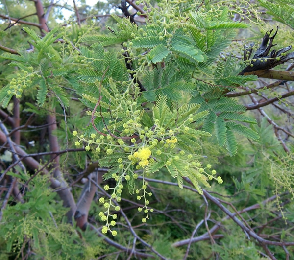 Mimosa des fleuristes