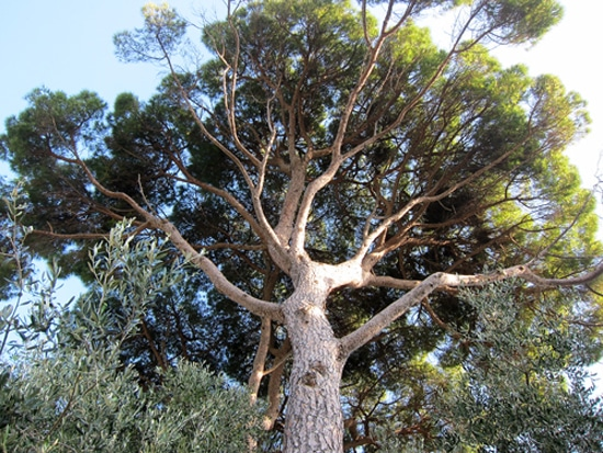 couronne du Pinus pinea