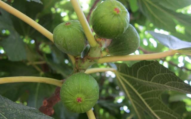 figues Ficus carica