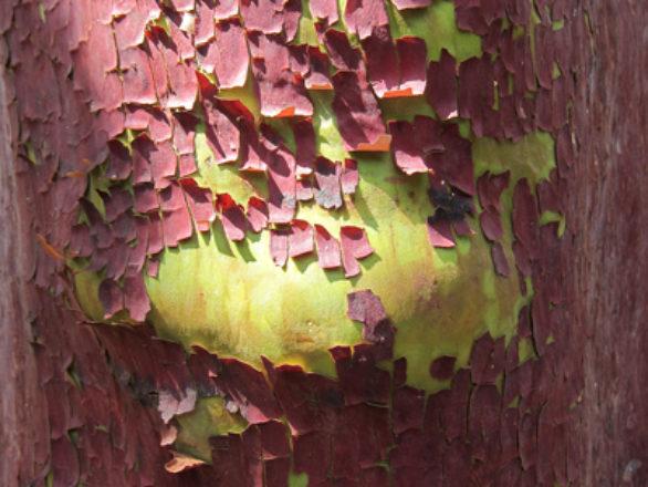 écorce Arbutus andrachne