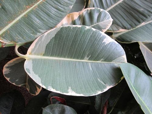 feuille Ficus elastica 'variegata'