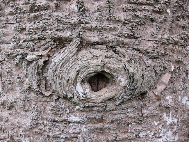 cicatrice branche de Bunya Pine