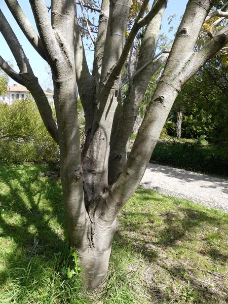 tronc ramifié Aesculus indica