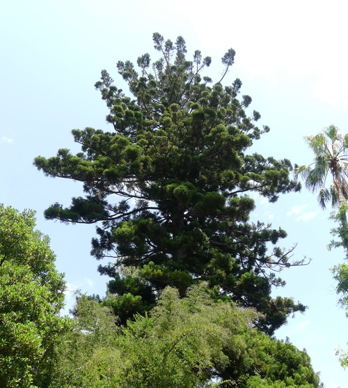 Araucaria angustifolia Hanbury Italie