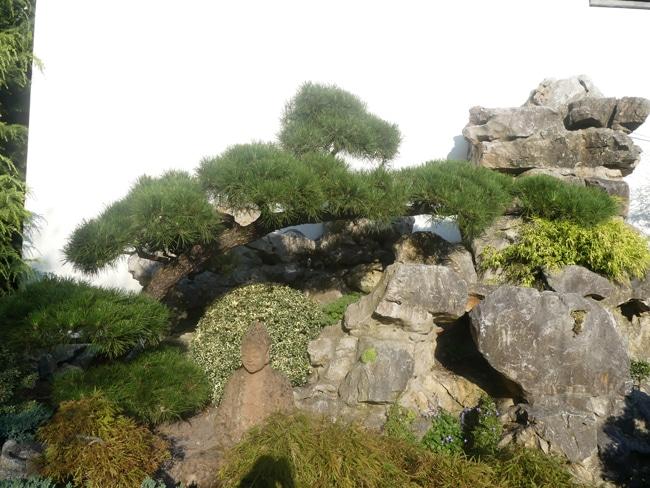 Pinus nigra au Parc de Pairi Daiza Belgique