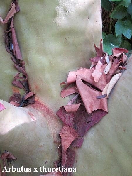écorce Arbutus x thuretiana