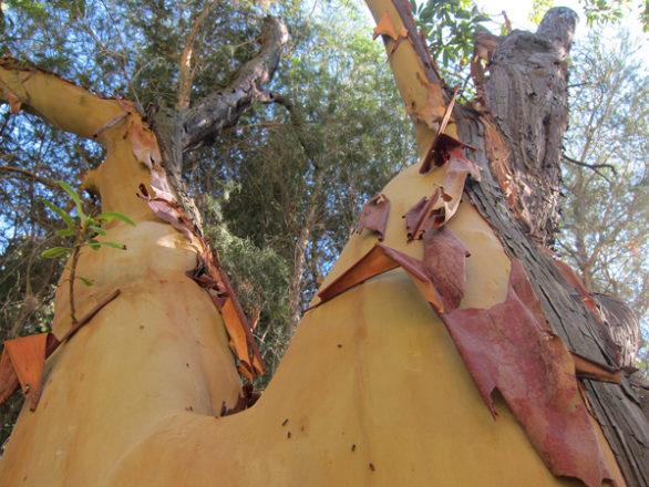 écorce Arbutus-canariensis